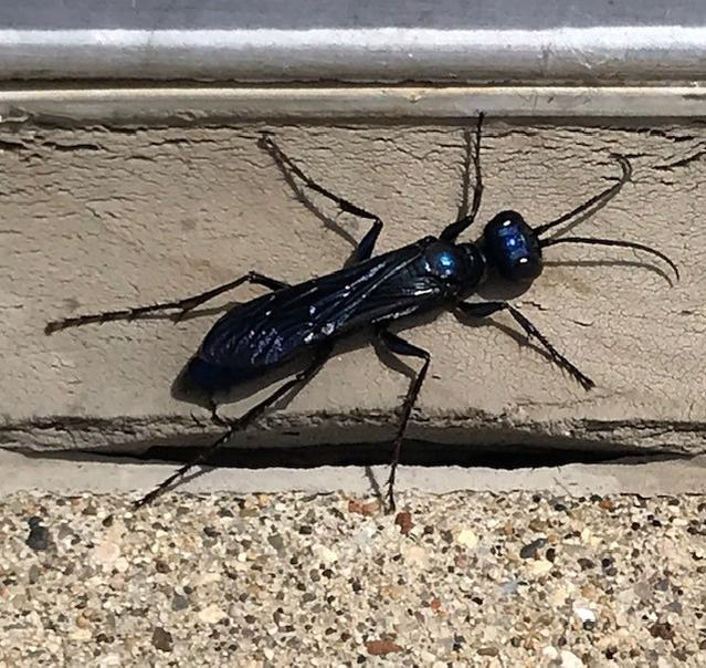 What in the COVID-infested world we live in, is this monster?  Saw it today.  Over an inch long, blue/black like a housefly.      If you'd like a...